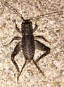 Cricket - Velarifictorus micado - male