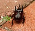 Beetle? - Strategus antaeus