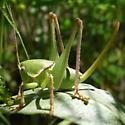 Pediodectes haldemanii (Girard) - Pediodectes haldemanii - female
