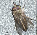 Fly sp? - Tabanus similis