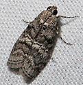 Pococera species 1 - Pococera