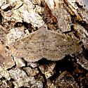 Toxonprucha clientis - Hodges#8675 (Toxonprucha clientis) - Toxonprucha pardalis