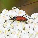 Lepturinae? - Anastrangalia laetifica - female