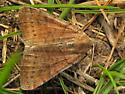 Vetch Looper Moth ? - Caenurgina erechtea
