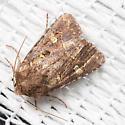 Moth - Lacinipolia renigera