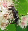 Potter wasp? - Cyrtophorus verrucosus