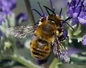 Megachilidae - Megachile perihirta - male