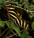 Butterfly - Heliconius charithonia