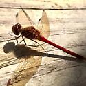 Cardinal Meadowhawk? - Sympetrum vicinum - male