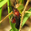 Red Wasp - Timulla - male