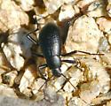 beetle, black, pitmarks - Eleodes goryi