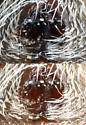 Phidippus Hook - epigynum - Phidippus texanus - female