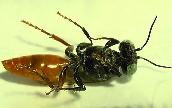 Red-belly Square-headed Wasp - Tachysphex - female
