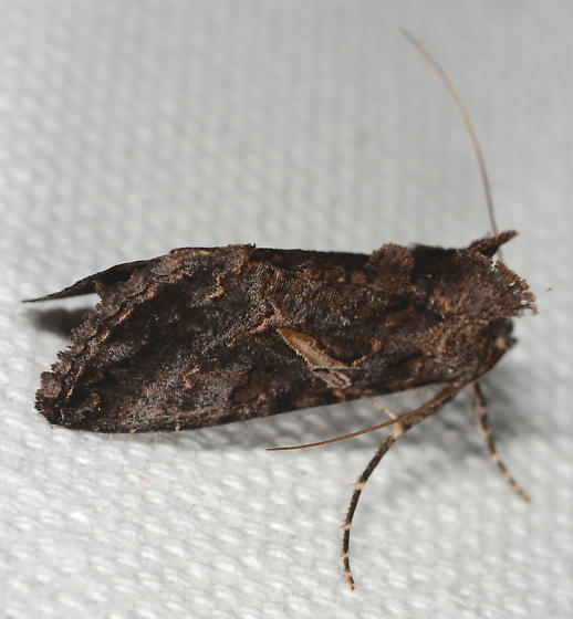 Ctenoplusia oxygramma - Sharp-stigma Looper Moth - Ctenoplusia oxygramma
