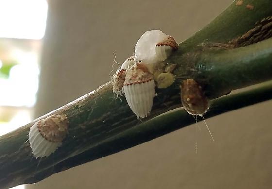 Stay Off My Lemon Tree! - Icerya purchasi