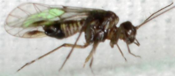 another Diapriidae ? - Blaste