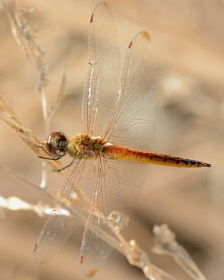 Wandering Glider? - Pantala flavescens