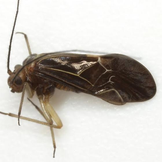 Cerastipsocus venosus (Burmeister) - Cerastipsocus venosus