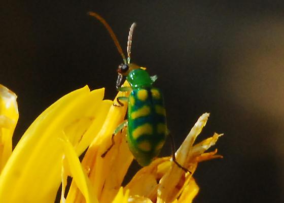 Return to Incredible Edible: Banded Cucumber Beetle - Diabrotica balteata