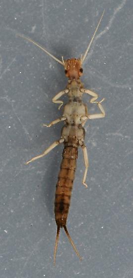 Bisancora sp. - voucher specimen, in alcohol