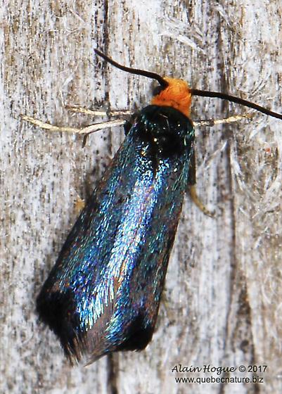 Moth - Paraclemensia acerifoliella