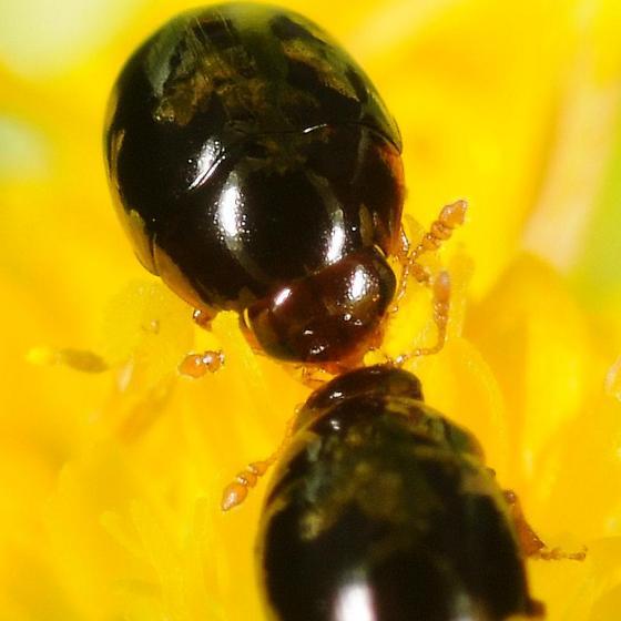 Beetles - Olibrus