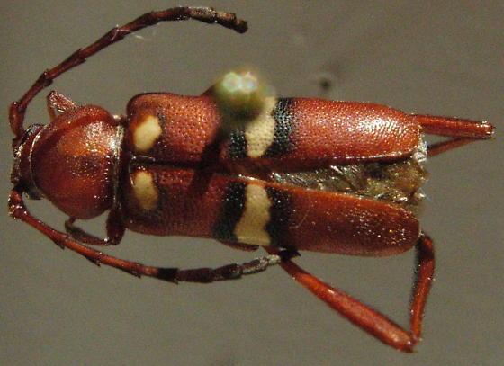 Aethecerinus latecinctus - female