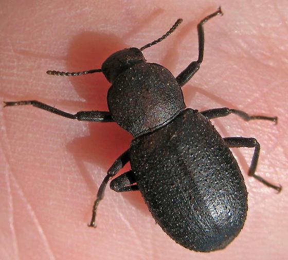 Darkling beetle under log - Cibdelis