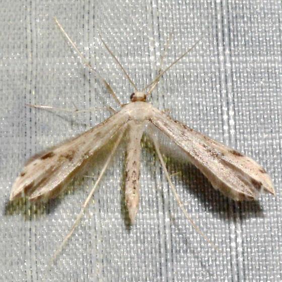 Adaina ambrosiae - male