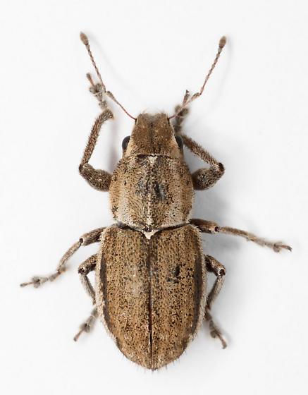 Naupactus leucoloma? - Naupactus peregrinus