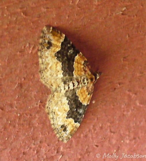moth - Xanthorhoe ferrugata