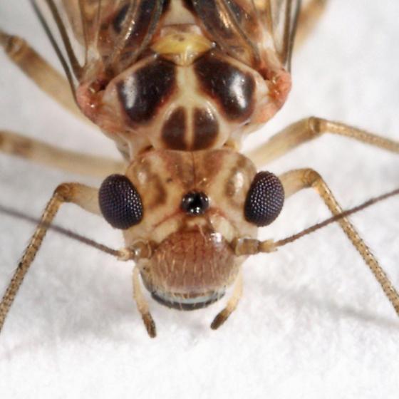 barklouse - Blastopsocus lithinus