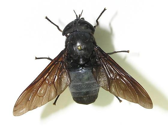 Tabanus atratus - female