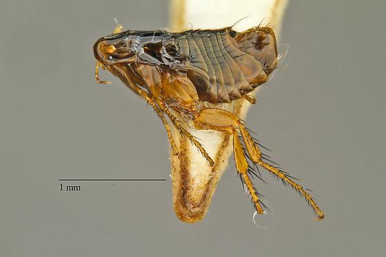 Nosopsyllus fasciatus