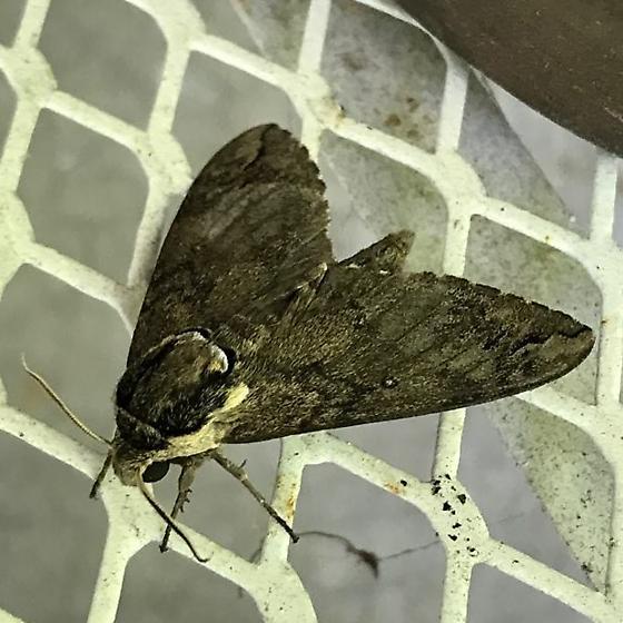 Moth ID, please. - Ceratomia catalpae