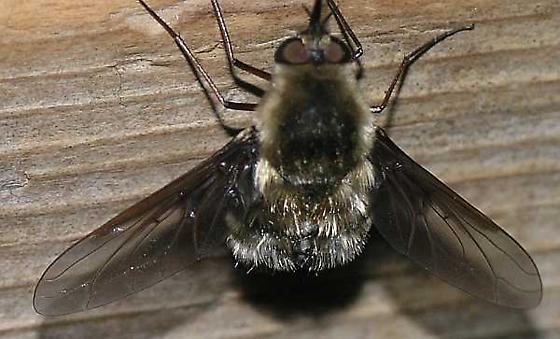 Bee Fly - Bombylius varius