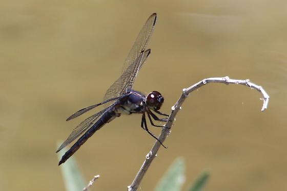 Slaty Skimmer - Libellula incesta - male