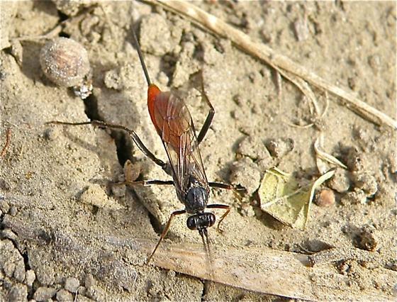 Black and Red Wasp - Cryptus albitarsis - female