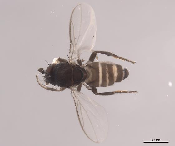 Opalimosina mirabilis - NEW GENUS - Opalimosina mirabilis - male