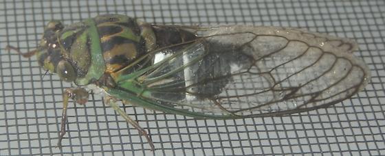 Coastal Scissor Grinder Cicada - Neotibicen latifasciatus