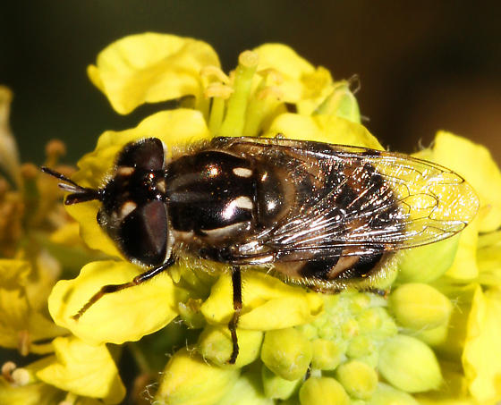 unidentified California Syrphidae - Copestylum