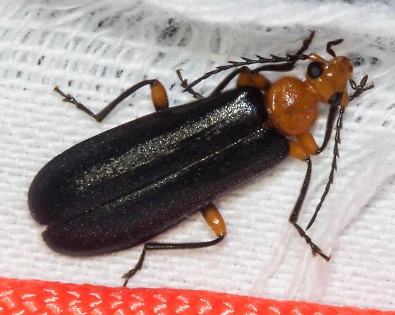 Circular-pronotum beetle - Neopyrochroa femoralis - female