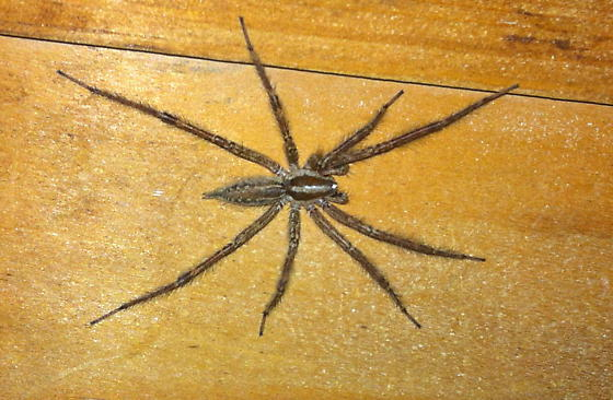 large spider in basement agelenopsis bugguide net