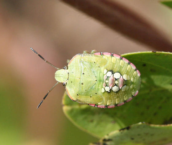 Green Stink Bug - Nezara viridula