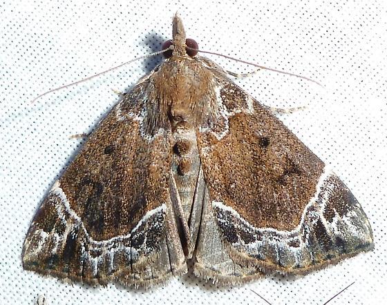 White-lined Bomolocha Moth - Hypena abalienalis