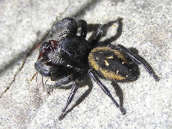 Spider with prey - Phidippus borealis