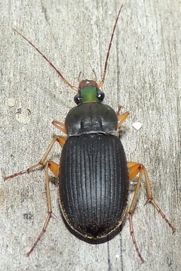 UNK Beetle - Chlaenius impunctifrons