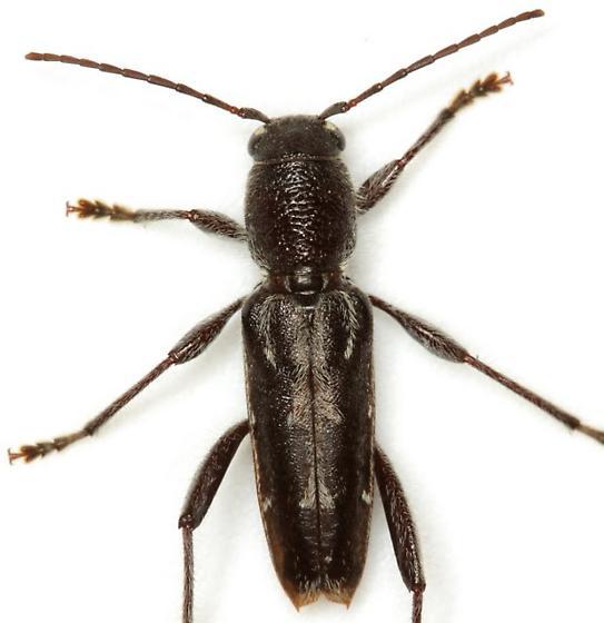 Xylotrechus sagittatus (Germar) - Xylotrechus sagittatus