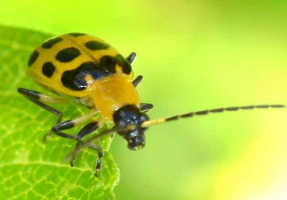 Spotted Cucumber Beetle? - Diabrotica undecimpunctata