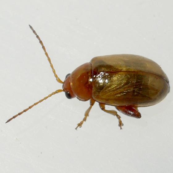 beetle - Aphthona